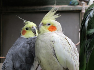 Cockatiels | by quimby