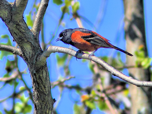 Orchard Oriole HDR  01-20160503