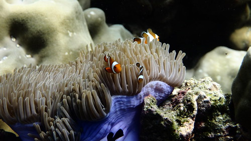 Anemonfish - Amphiprion ocellaris 1 | by Piscis Colonia