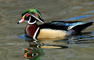 Wood Duck | by birding4ever