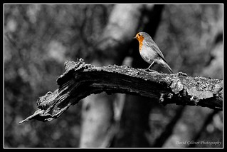Robin Red Breast | by Pikebubbles