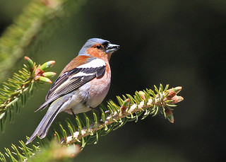 Chaffinch | by AZ Birdybird