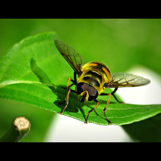 Hoverfly | by BphotoR