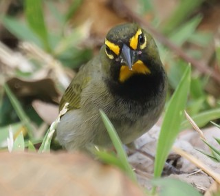 Yellow-faced Grassquit Jamaica March 2009 | by Mike's Birds