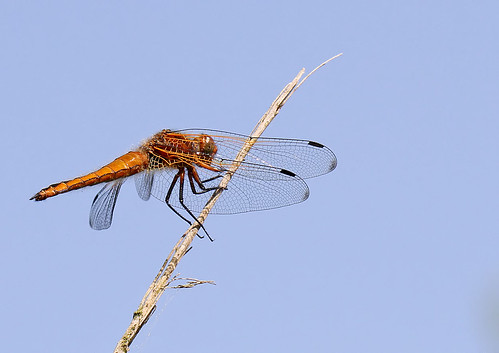 Scarce Chaser - Libellula fulva | by Roger H3