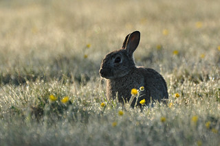 Rabbit in the morning sunlight | by Tim Melling