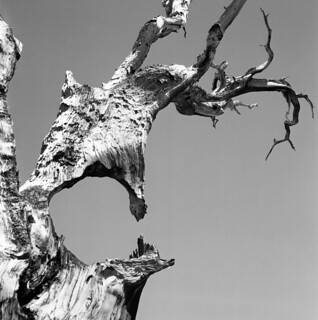 Bristlecone | by WoodyBoinker