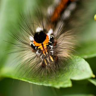 Yellow-tail Moth Cat | by Steve Ford.