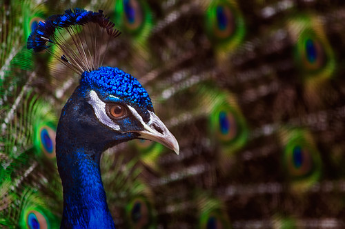 It's a Peacock | by murf50