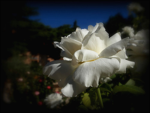 Rosa Blanca - Rose White | by Marga_D...