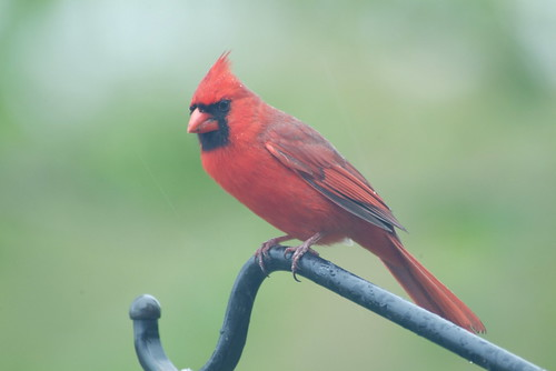 mr. cardinal | by riner_frost