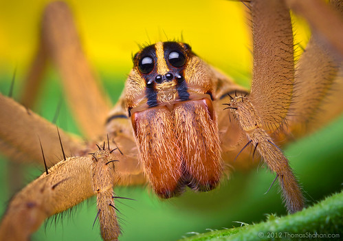 Female Rabid Wolf Spider - Rabidosa rabida | by Thomas Shahan