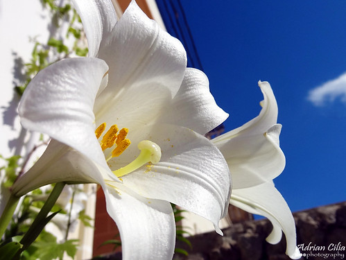 st joseph's lily | by Drinu C