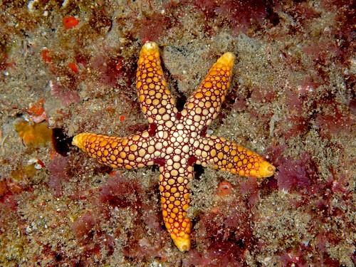 Starfish, Ferdina sadhensis