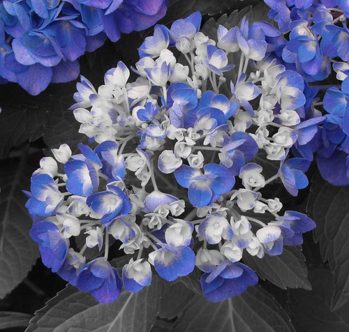 Selective color Hydrangea | by THANK YOU FOR 2 MILLION VIEWS
