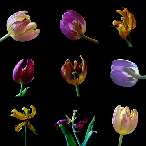 TULIPS | by (^-^) SUE (^-^)