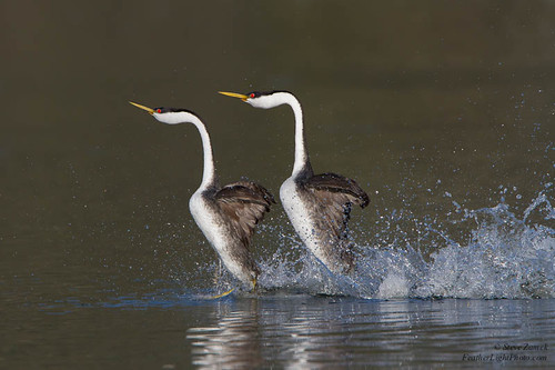 Western Grebes, courtship display | by Steve Zamek