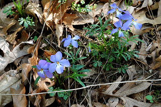 Bird's Foot Violet, Viola pedata | by Ozarks Walkabout