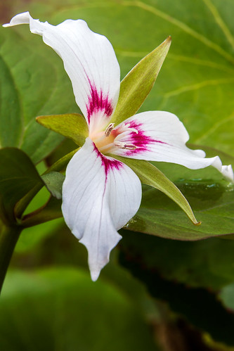 Painted Trillium | by snapdragginphoto
