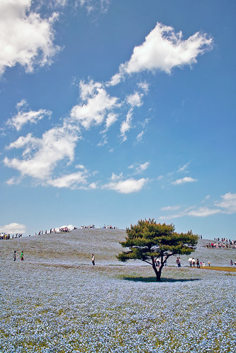 Nemophila hill #2 | by nipomen2