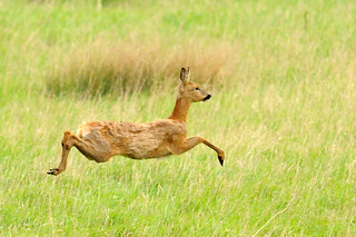 Roe deer | by amylewis.lincs
