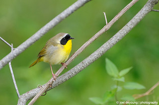 Common Yellowthroat | by Squirrel_bark