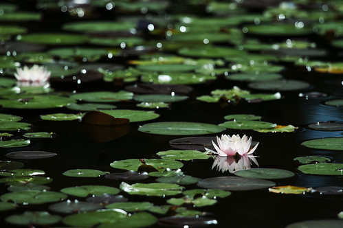 waterlily | by * Yumi *
