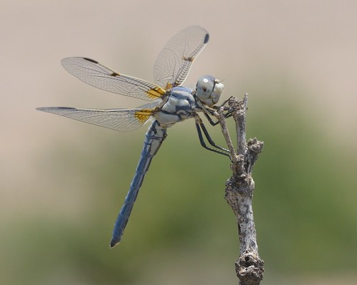 Bleached Skimmer - Libellula composita male | by ivanq