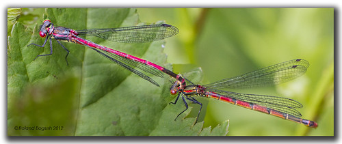 Large Red Damselflies mating (Pyrrhosoma nymphula) | by Roland Bogush