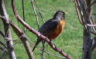 An American Robin | by Robert Ying