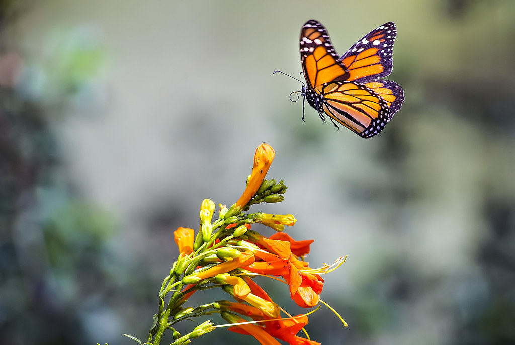 Image result for butterfly in flight images