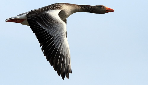 The Greylag Goose ~ Best View Dark - Press L | by SNAPDECISIONS !