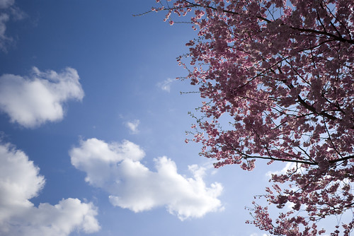 Cherry Tree w Blossoms and Sky | by MightyD-media