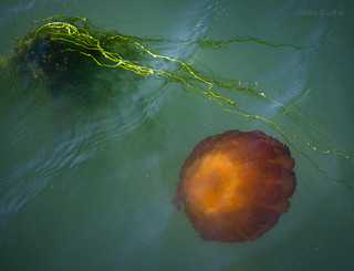Jellyfish in the Bay | by flopper