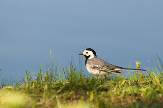 White Wagtail | by Emyan