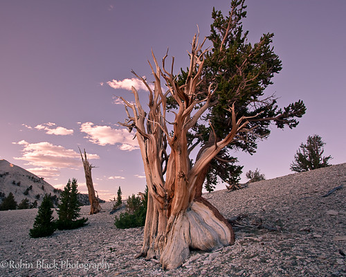 Ancient Bristlecone With Evening Light | by Robin Black Photography