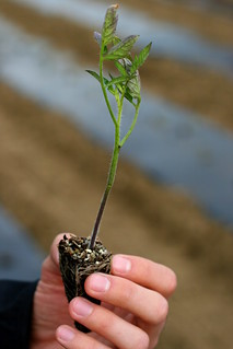 Your Farm News in Photos - Tomato Seedling | by Farm Fresh To You -
