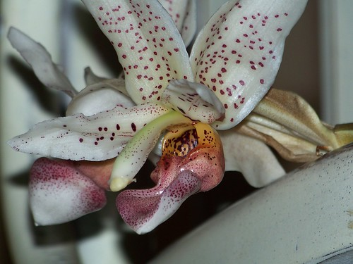 Stanhopea xhorichiana 126 | by Orchiteo