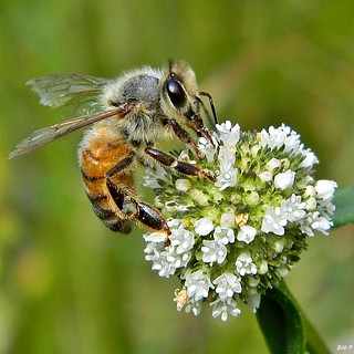 An Aged Bee on Shrubby False Buttonweed | by bob in swamp