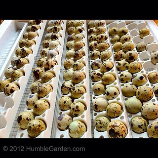 Quail eggs all loaded in the turner and are in the forced air incubator! #homestead #garden #realfood | by nikaboyce