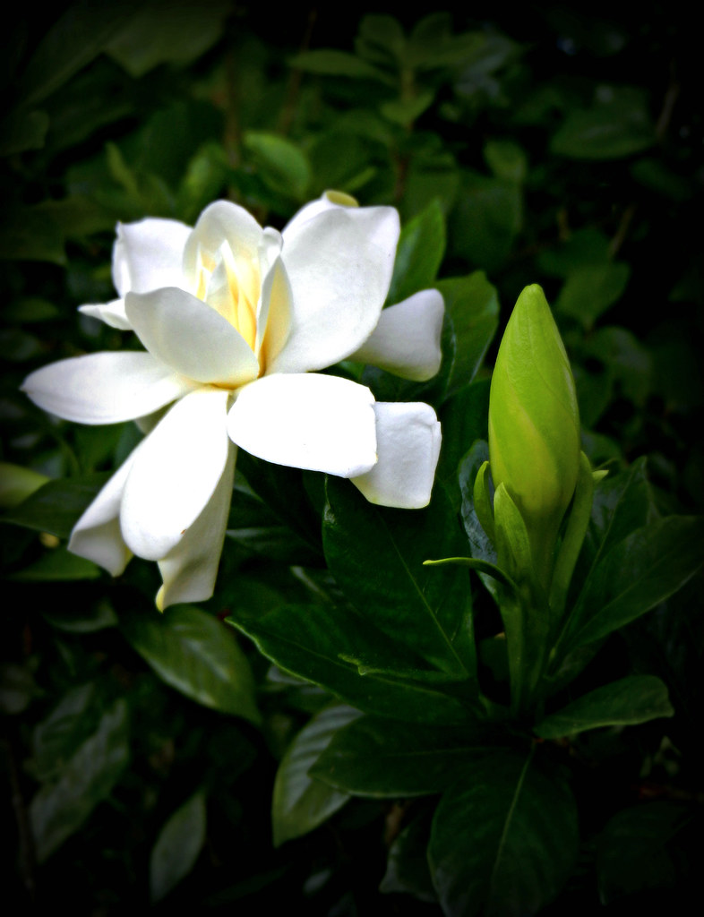Gardenia Or Cape Jasmine At Adelphia Plantation Edgecombe Flickr