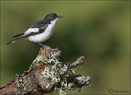 Pied Flycatcher Male | by jconway1