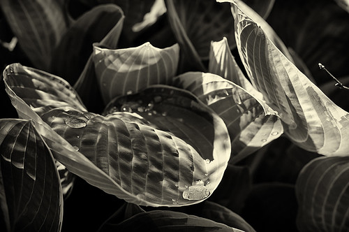 hosta light and shadow | by loco's photos