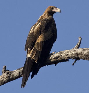 proud to be a wedge-tailed eagle | by Fat Burns ☮ (on/off)