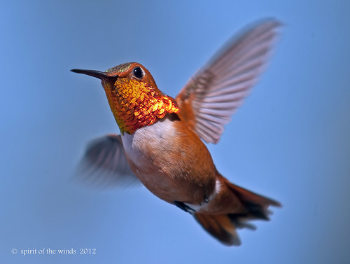 The Rufous Hummingbird | by jimgspokane