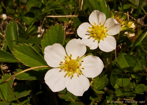 Fleurs de fraisier sauvage / Wild strawberry flower (P1070021) | by François Tremblay