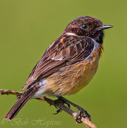 Stonechat | by Bob Hopkins Photography