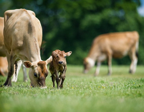Jersey mother with her new calf | by jerry_lake