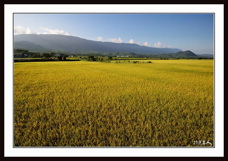 ++金黃稻穗的季節++