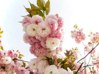The Blossoms of Spring | by Harris Graber